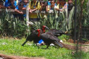 COURTESY HONOLULU ZOO                                 Repairs to the Honolulu Zoo's Southern Ground Hornbill and Marabou Stork exhibits have been completed after a fallen tree damaged the enclosure last February.