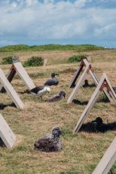 DENNIS ODA / 2019 Twenty-five black-footed albatrosses were transported from Midway Atoll, where 90% of the world's black-footed albatross population lives, to Oahu. The James Campbell National Wildlife Refuge houses an albatross colony on the North Shore.