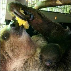 COURTESY HONOLULU ZOO                                 A Linneaus's two-toed sloth, also known as a southern two-toed sloth, is giving birth to a new baby sloth at the Honolulu Zoo. This will be the fifth baby sloth born at the Honolulu Zoo to mother Harriet, age 7 and father Quando, age 18. March 7, 2021
