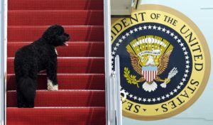 ASSOCIATED PRESS / 2010                                 Presidential pet Bo climbing the stairs of Air Force One at Andrews Air Force Base, Md. for a flight to Chicago with President Barack Obama. Bo, died Saturday, May 8, after a battle with cancer, the Obamas said on social media.