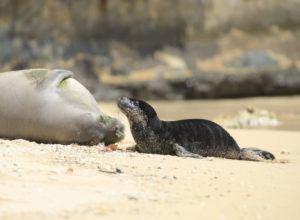 JAMM AQUINO / MAY 7                                 A Hawaiian monk seal pup and its mother at Kaimana Beach in Waikiki.
