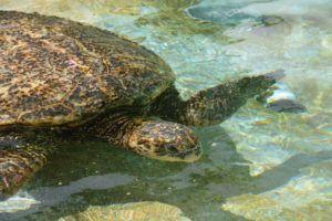 COURTESY SEA LIFE PARK                                 The honu or Hawaiian sea turtle.