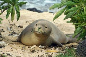 COURTESY HMAR                                 Hawaiian monk seal Mele, or RM90, was seen exploring a beach and naupaka plants in this undated photo. NOAA has determined the cause of her death was likely due to drowning in a net.