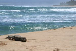 COURTESY HAWAII STATE DEPT. OF LAND AND NATURAL RESOURCES                                 In this Sept. 25 photo, a 6-year-old endangered Hawaiian monk seal rests on the beach in Waialua, Hawaii. Researchers say the monk seal made an exceptionally fast and long swim across the archipelago. The female seal made her way from Kure Atoll in the uninhabited Northwestern Hawaiian Islands to the North Shore of Oahu, a trip of about 1,300 miles. She made the grueling swim in only a month, landing on Oahu sometime the week before.
