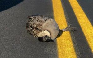 COURTESY NPS                                 A nene killed by a car on the roadway at Hawaii Volcanoes National Park. Although there are nene crossing and warning signs posted throughout the park, urging motorists to slow down and watch out for the geese, three have been fatally struck in the past two weeks.