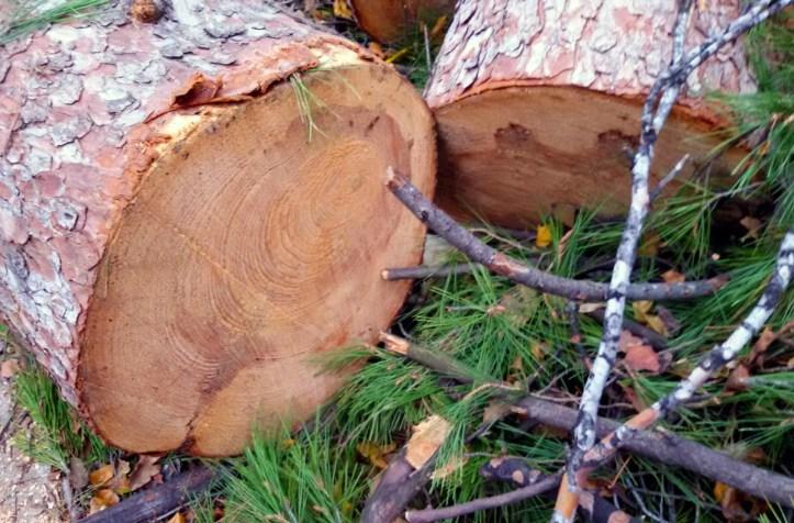 Приговор за незаконную рубку деревьев в Старой Майне