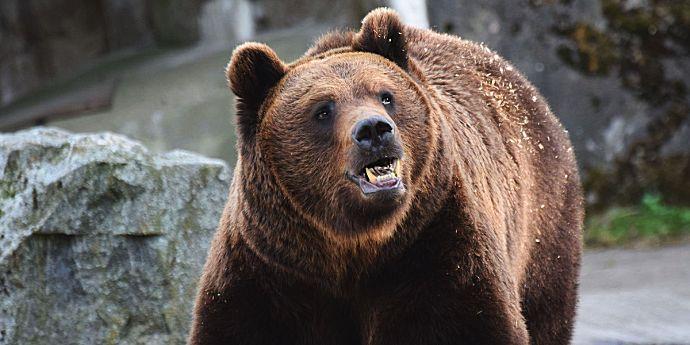Vânătoarea de urşi bruni a fost interzisă de Ministerul Mediului