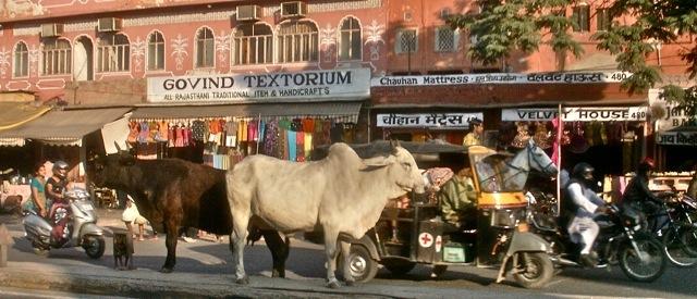3cmgm-india-koeien