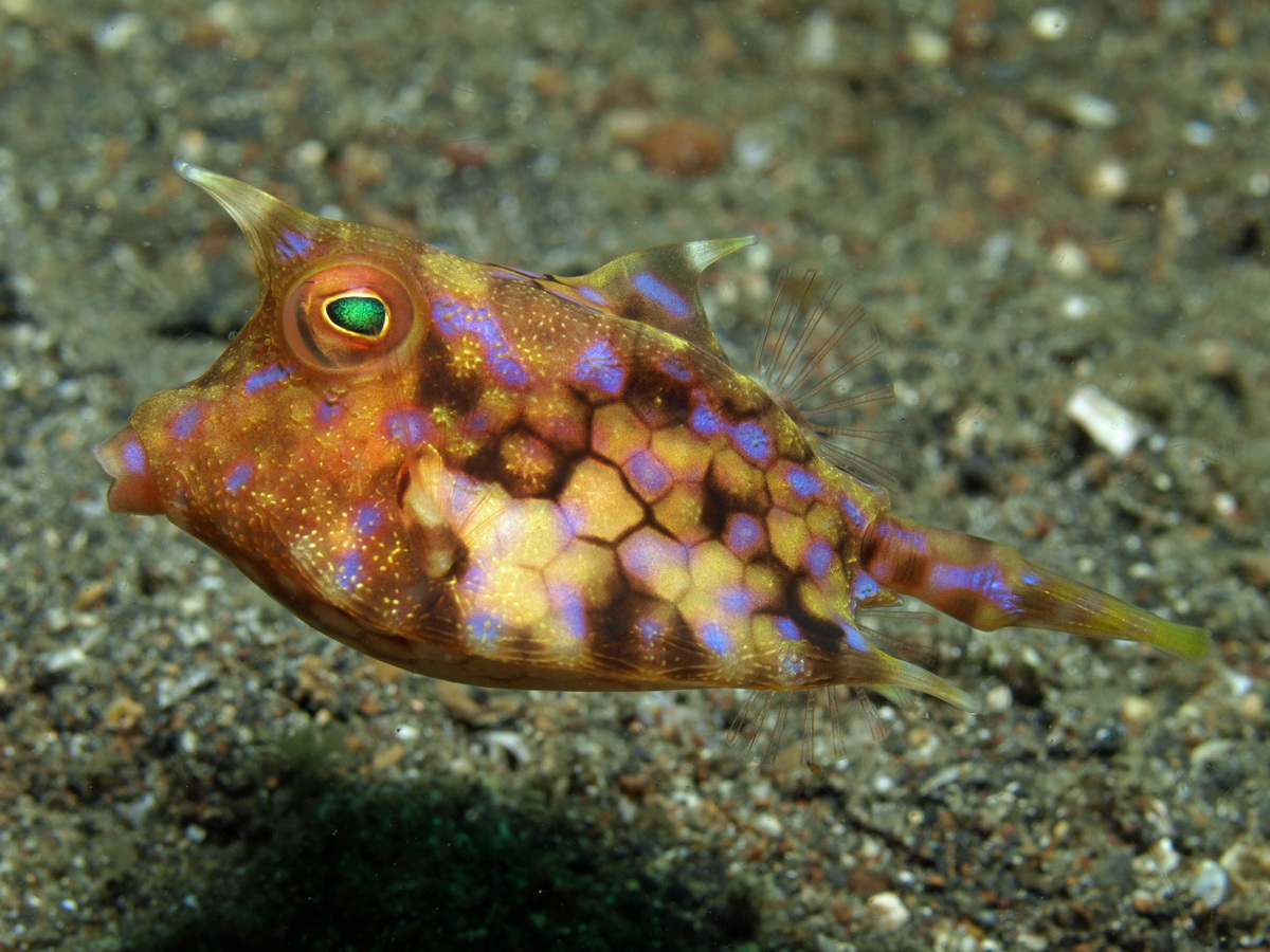 https://i2.wp.com/www.starfish.ch/photos/fishes-Fische/boxfishes-Kofferfische/Lactoria-fornasini1.jpg