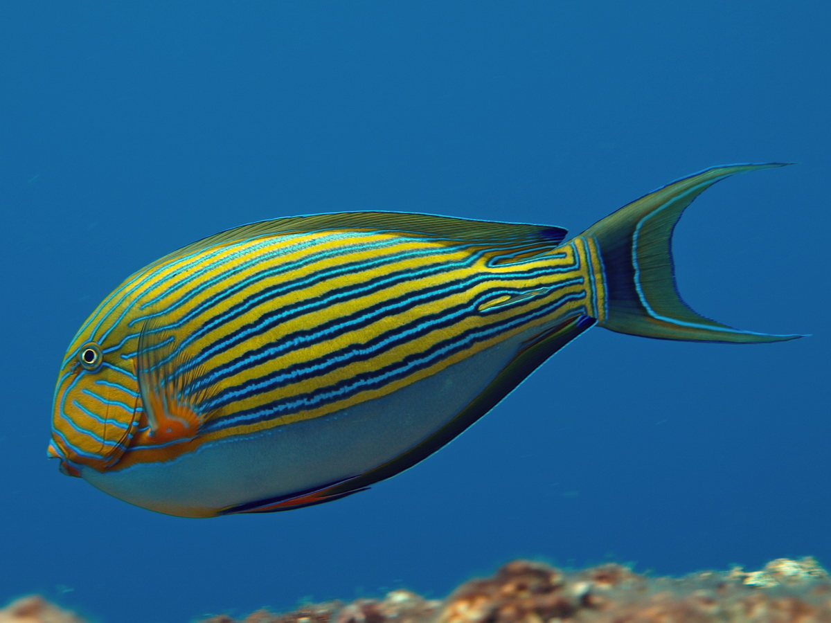 https://i2.wp.com/www.starfish.ch/photos/fishes-Fische/surgeonfishes-Doktorfische/Acanthurus-lineatus2.jpg