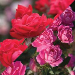 Double Knock Out Rose Roses Stark Bro S