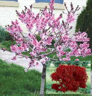 bonfire ornamental peach flowering