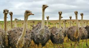 many ostriches together