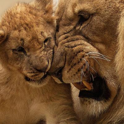 A lion and a cub playing