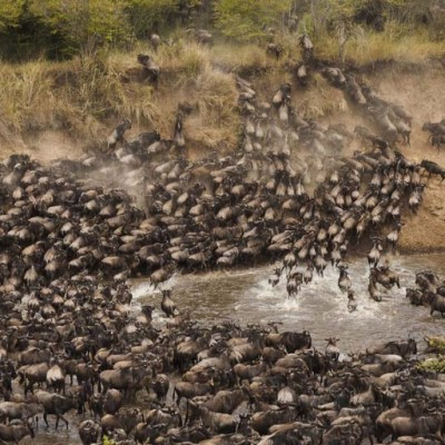 Wildebeest crossing a river aerial shot