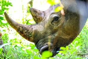 Rhino feeding