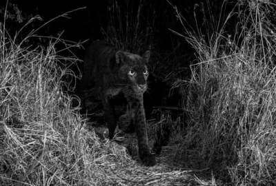 Rare Black African Leopard Photographed in Kenya