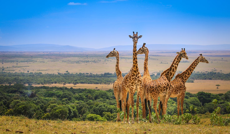 Giraffes at the Masai Mara