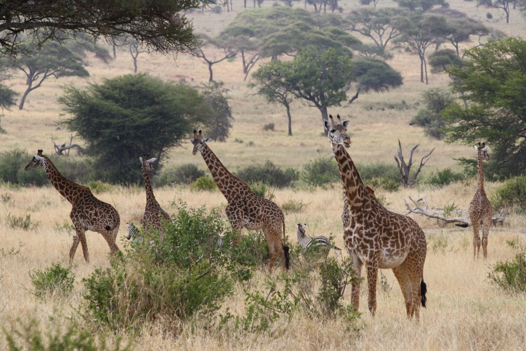 Giraffes at Tarangire National Park