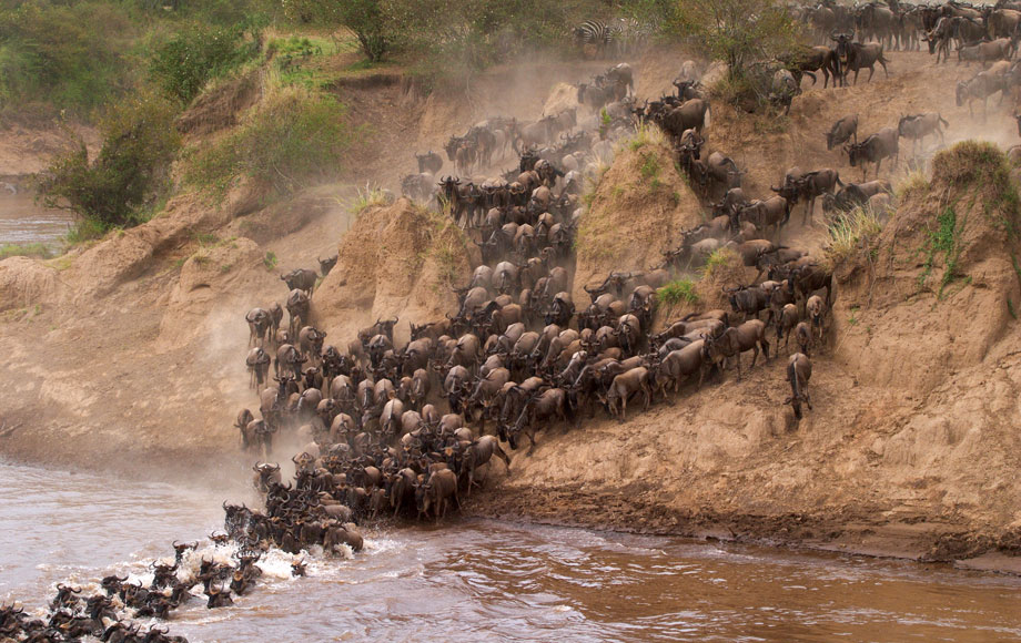 Wildebeest crossing a river in the Masai Mara