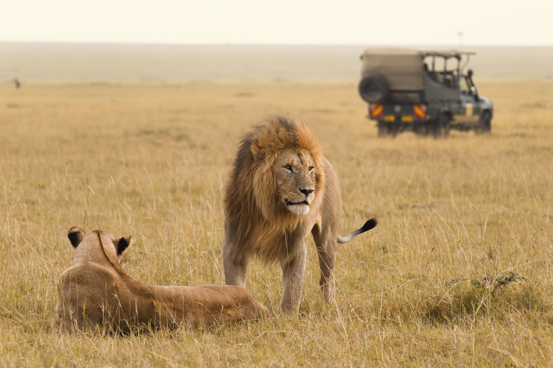 A lion and lioness in the Masai Mara