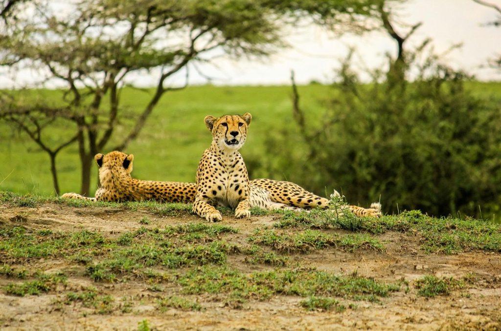 Cheetahs in the Serengeti