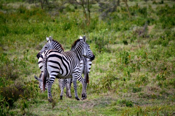 Zebras at Wileli House & Wildlife Conservancy