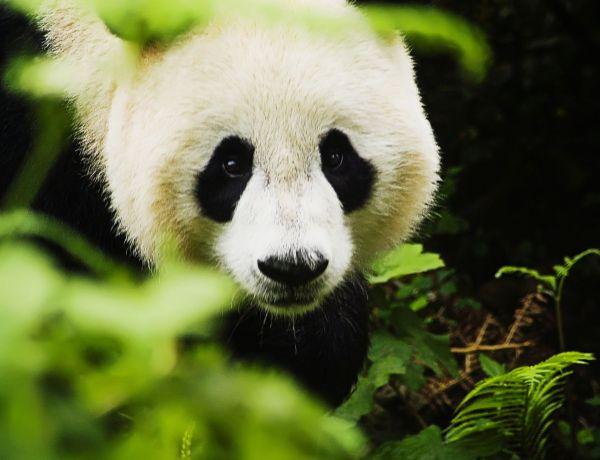 Du porno: pour sauver les pandas!
