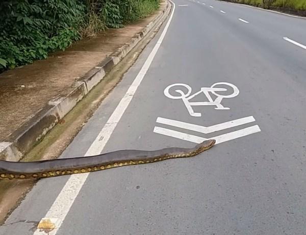 Quand un anaconda de plus de 3 mètres traverse la route au Brésil