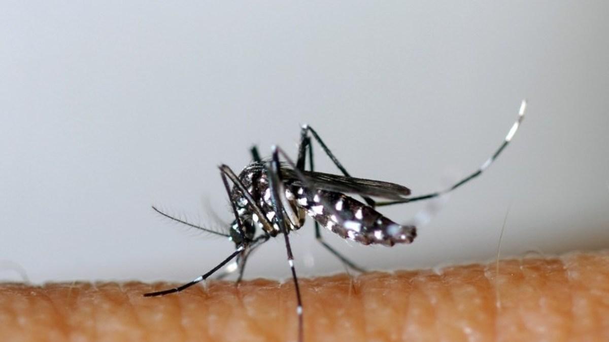 750 millions de moustiques génétiquement modifiés bientôt lâchés dans la nature !