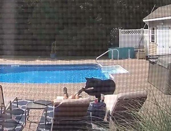Etats-Unis : Réveillé par un ours alors qu'il faisait la sieste au bord de la piscine