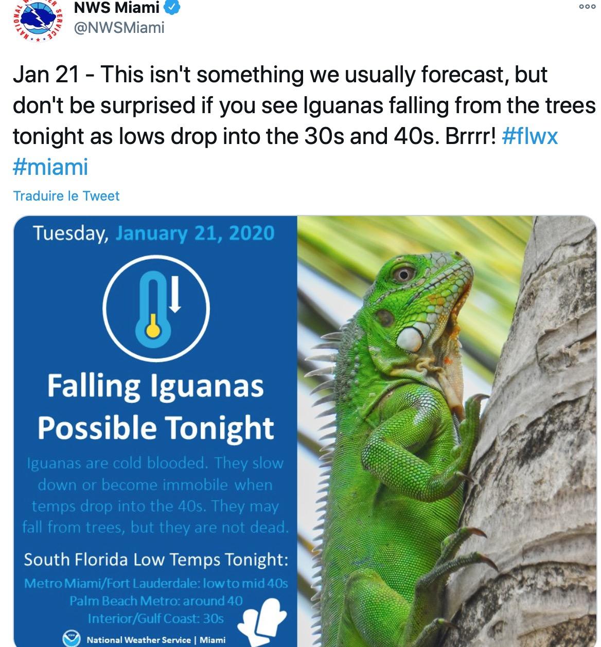 États-Unis : En Floride, on se prépare à une pluie… d'iguanes pour Noël !