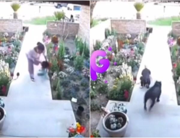 Elle sauve deux fillettes d'une attaque de pitbulls enragés
