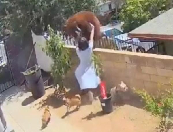 Impressionnant : Pour protéger ses chiens, une adolescente affronte un ours !