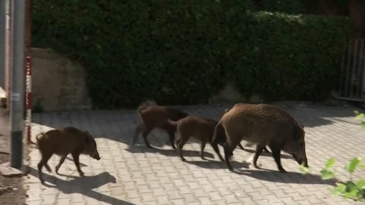 Rome : La ville éternelle envahie par les sangliers, la municipalité dépassée