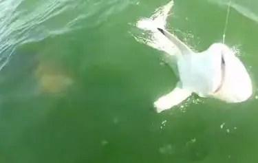 Giant Fish Eats Shark