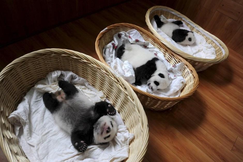 Panda cubs - Reuters