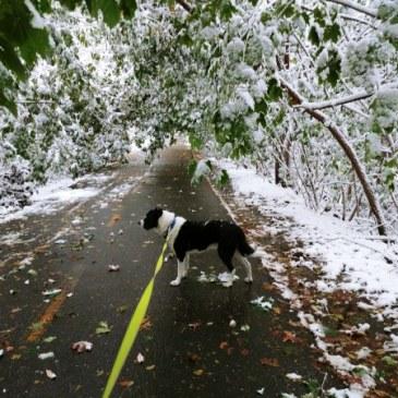 October snow bows trees on bikepath