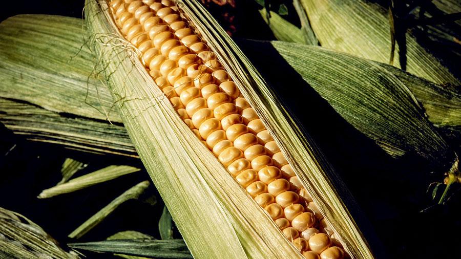 callout-corn