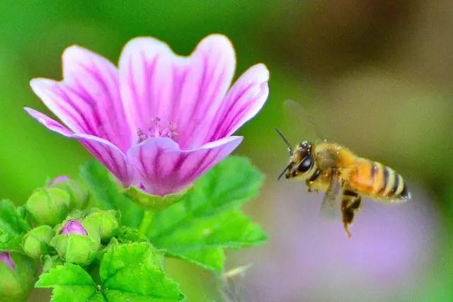 Image result for honeybee