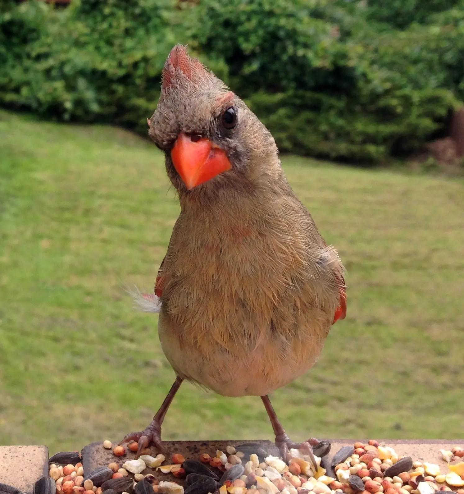 State Bird Of Indiana
