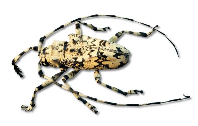 Ancylonotes trubulis hieroglyphicus aus Madagaskar, Länge ca. 18 mm