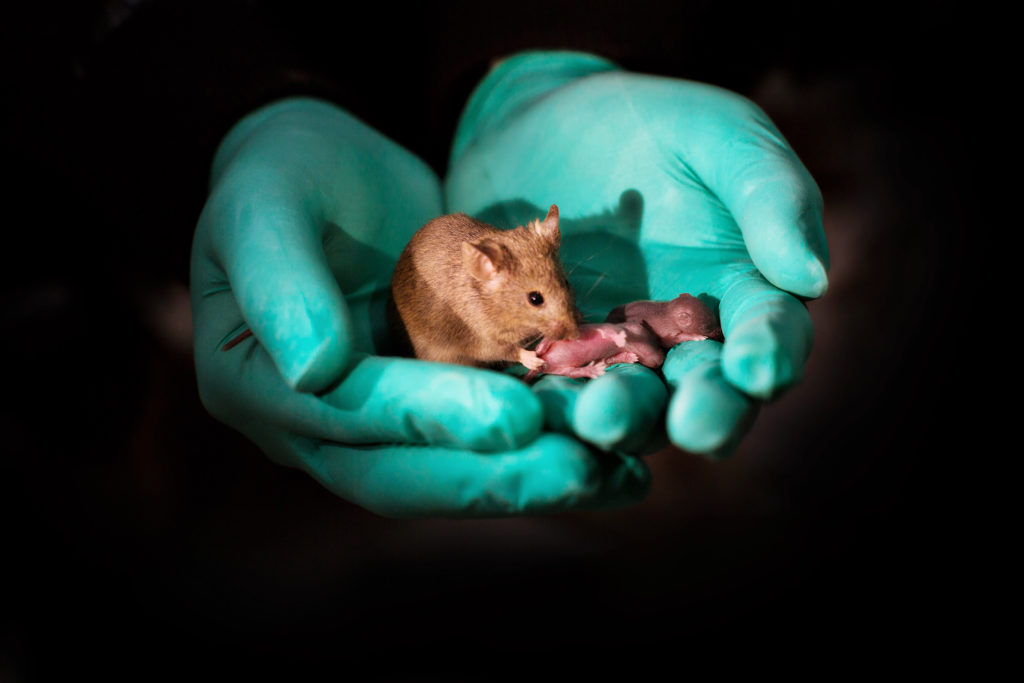 Adult bimaternal mouse (born to two mothers)