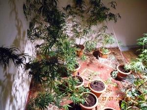 La coltivazione di marijuana a Sannicandro G.co (image Stato)