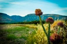 Flora delle campagne di Manfredonia (ph: Michele Renzullo)