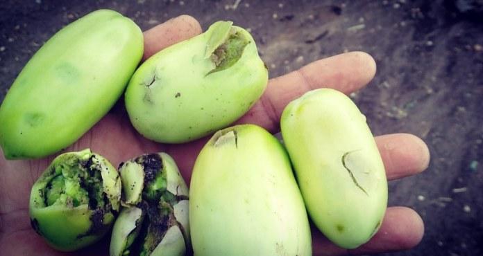pomodori Lesina