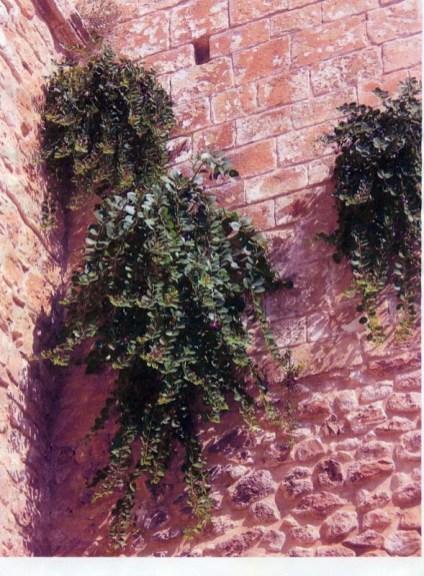 COPERTINA - Piante di capperi sulle mura dell'Abbazia di Pulsano-