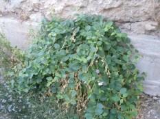Pianta di capperi- varietà- Capperis spinosa inerme