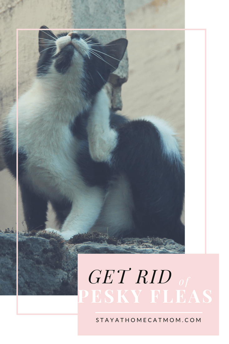 Get rid of pesky fleas for good! - Stay At Home Cat Mom's guide to riding yourself from the annoying pests