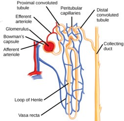Nephron diagram function archives stay healthy till 70d forever nephron ccuart Choice Image
